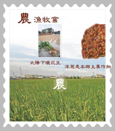 陽光下曬花生,洋蔥是本鄉主要經濟農作物