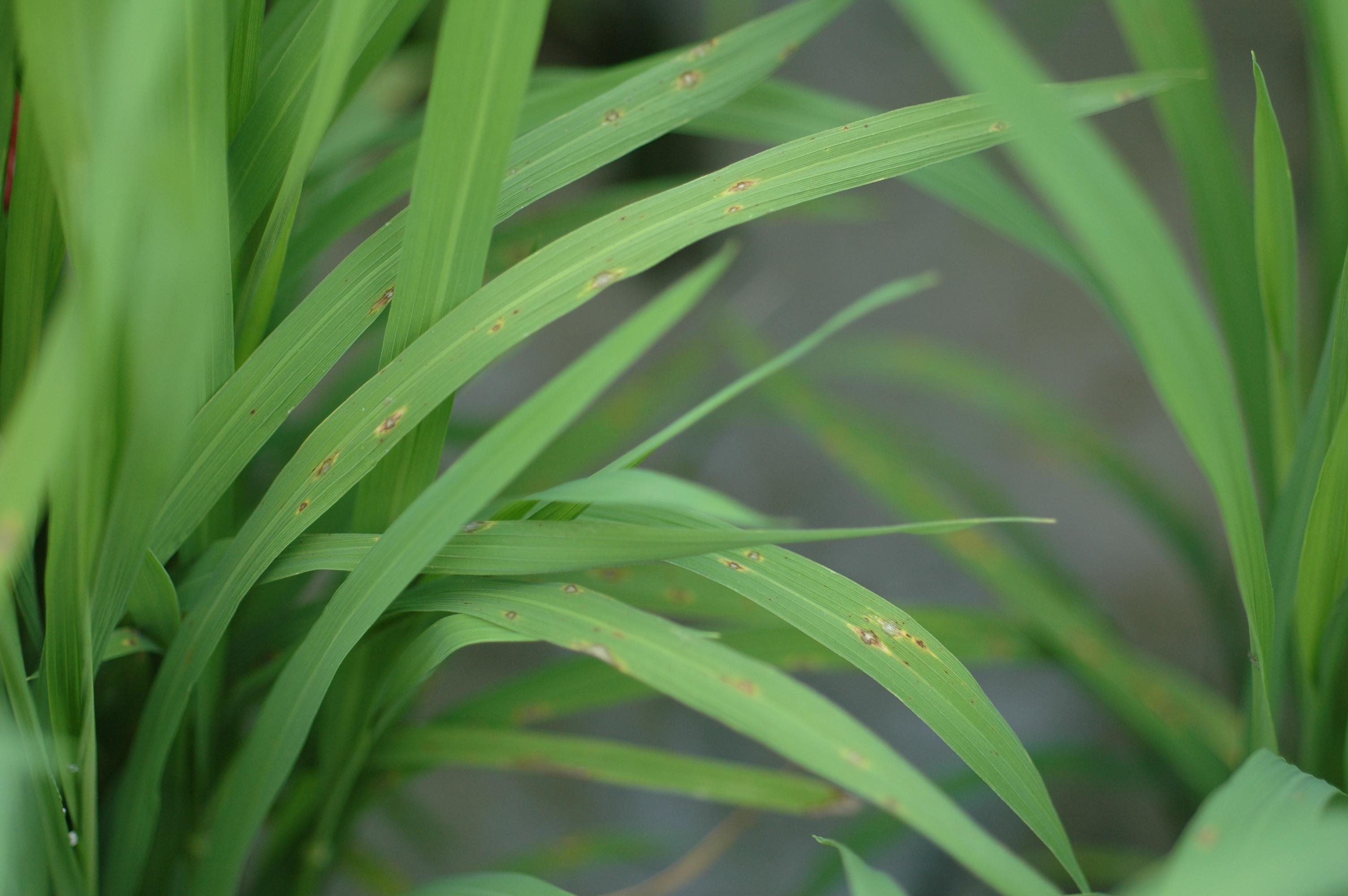 氣候條件適合水稻葉稻熱病發生與蔓延,彰化縣政府籲請農友防治水稻葉稻熱病
